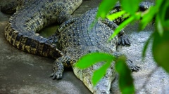 A pair of crocodiles, green foliage. Stock Footage