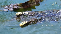 The head of a crocodile top view. Stock Footage