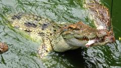 Crocodile hunting for chicken. Competition. Stock Footage