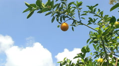 Oranges on a tree Stock Footage