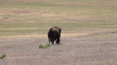 Wildlife American Bison buffalo walks in praire meadow 4K Stock Footage