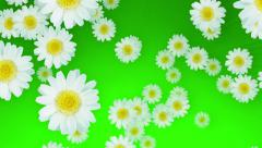 Spring Summer Daisies Green Stock Footage