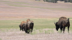 Wildlife American buffalo Bison on prairie meadow 4K Stock Footage
