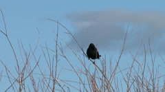 Red Winged Blackbird Perched On Branch Stock Footage
