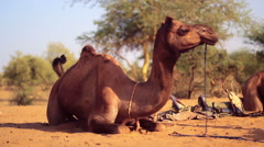 A camel rests on the Thar Desert Stock Footage