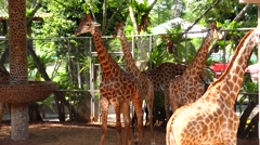 Giraffes in full growth. Stock Footage