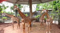 Group of giraffes standing around. Stock Footage