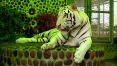 White Tiger. Leader. Stock Footage