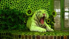 Tiger yawns. Stock Footage