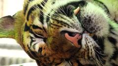 Tiger. Disturbed sleep. Stock Footage