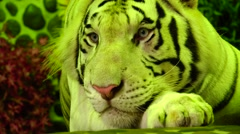 Tiger watching. Stock Footage