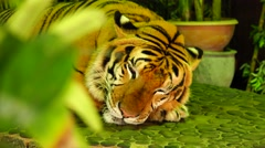 Tiger misses. Stock Footage