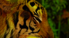Tiger licks his nose. Stock Footage