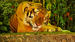 Tiger, sweet dream.  Nature. Eco. - stock footage