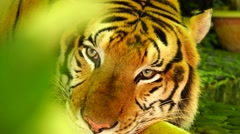 Tiger falls asleep.  Nature. Eco.  Stock Footage