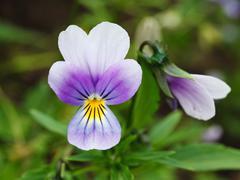 Purple pansy Stock Photos