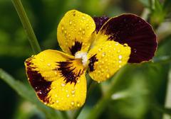 Yellow pansy - stock photo
