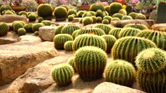 Strong cactus. Nature. Eco. Stock Footage