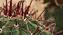Prickly cactus.  Nature. Eco. Stock Footage