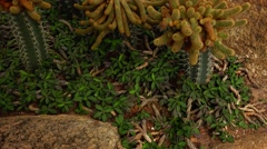 Cactus Mexican magic.  Nature. Eco. Stock Footage