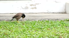 Common myna on the floor Stock Footage