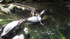 Yellow-bellied slider turtle (Trachemys scripta)/ 4k wildlife footage Stock Footage