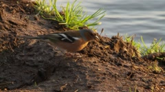 Common Chaffinch by the river Stock Footage