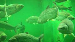 Big Fish at Aquarium in Ayutthaya, Thailand - stock footage