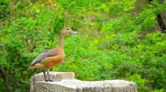 Solitary Lesser Whistling Duck Posing for Picture Stock Footage