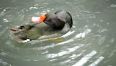 Duck Preening in the Water in Ayutthaya, Thailand Stock Footage