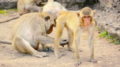 Troop of Long Tailed Macaques Grooming in Thailand Stock Footage