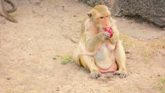 Macaque Drinking Juice from Plastic Bag Stock Footage