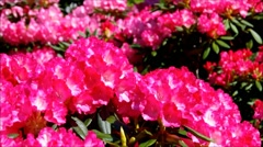 Purple Rhododendron flowers in spring Stock Footage