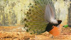 Peafowl engaged in courtship ritual at Chiang Mai Zoo in Thailand Stock Footage