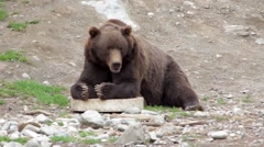 Grizzly Laying on the Ground - stock footage
