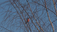 Bullfinch on the branches of a birch Stock Footage