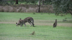 Stock Video Footage of Australia kangaroos at Halls Gap hopping