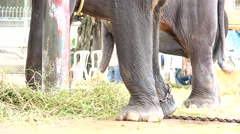 Elephant. Hooves. Chain. Stock Footage