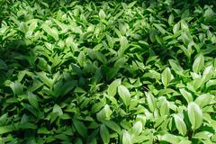 Colony of Hosta Stock Photos