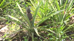 Pineapple field Stock Footage