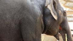 435 Elephant. Side view. Stock Footage