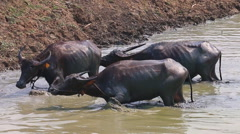 Water Buffalo Flock In Rural Pond (slow motion) Stock Footage