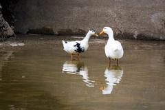 Ducks near the water. When mating takes place. - stock photo