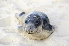 Seal pup having rest on the Hermosa beach Stock Photos
