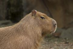 Capybara Closeup - stock photo
