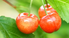Ripe cherry fruit on the tree Stock Footage