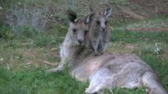 Australia kangaroos little one leans on mother - stock footage
