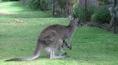 Australia Grampians kangaroo with Joey by fence Stock Footage