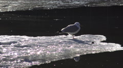 Seagull on Ice Floes/ 4k wildlife footage Stock Footage