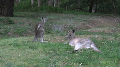 Australia kangaroos at Halls Gap young one stands and scratches Stock Footage